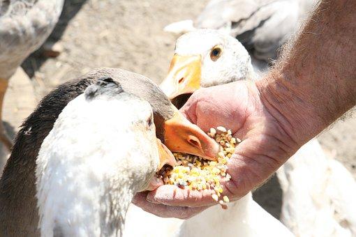 Animal, Big, Bird, Chicken, Clean, Cute, Dirty, Duck