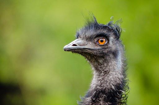 Emu, Bird, Emu Australia, Dromaiidae, Big Size