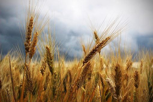 Ears, Wheat, Thunderstorm, Leaden Sky, Campaign, Field