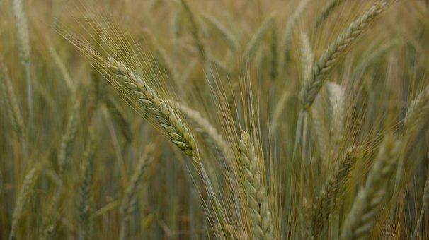 Field, Wheat, Ears, Campaign, Vegetation, Grass