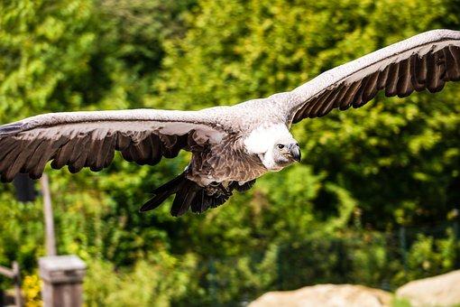 Bird, Vulture, Gaia Zoo, Gaia Park, Fly, Feather