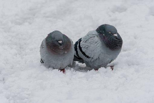 Dove, Bird, Winter, Frozen, Animal, Beak, City, Cold