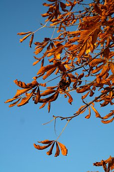 Leaves, Buckeye, Fall Leaves, Gold, Autumn Colours