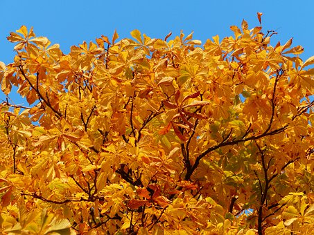 Fall Leaves, Gold, Autumn Colours, Tree, Chestnut