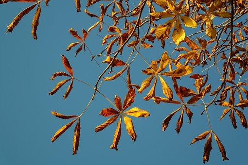 Buckeye, Golden Autumn, Fall Leaves, Gold