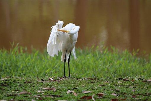 Great White Heron, On The Lakeside, Big Bird, Wild
