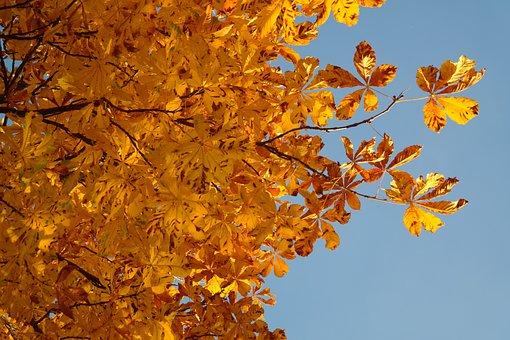 Horse Chestnut Leaves, Fall Leaves, Gold