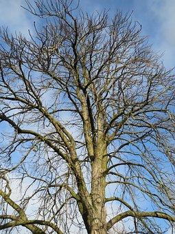 Aesculus Hippocastanum, Horse-chestnut, Conker Tree