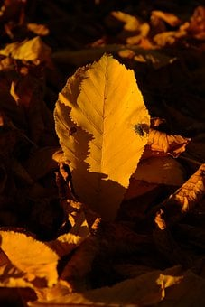 Chestnut Leaf, Chestnut Leaves, Fall Leaves, Housefly