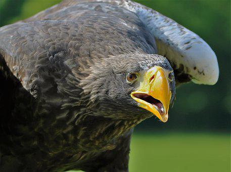 Stellar Sea Eagle, Eagle, Sea, Bird, Beak, Hunter