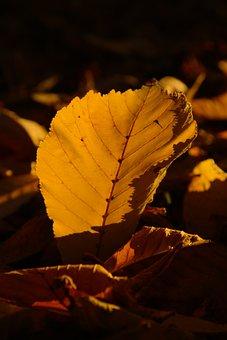 Chestnut Leaf, Autumn, Yellow, Yellowing, Macro