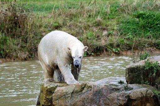 Polar Bear, Big Bear, White, Mammal, Big, Nature
