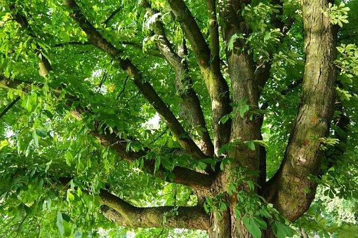 Chestnut, Buckeye, Tree, Branches, Aesthetic, Massive