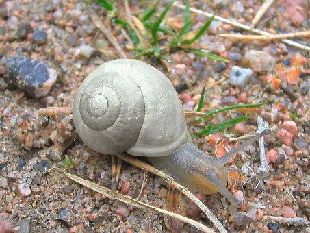 Snail, Mollusc, Crawling, Spiral, Mollusk, Gray