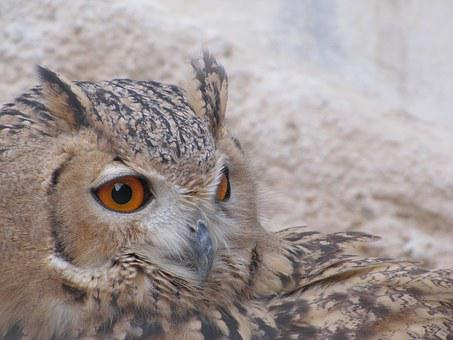 Owl, Nature, Wildlife, Birds Of Prey, Wisdom, Wise