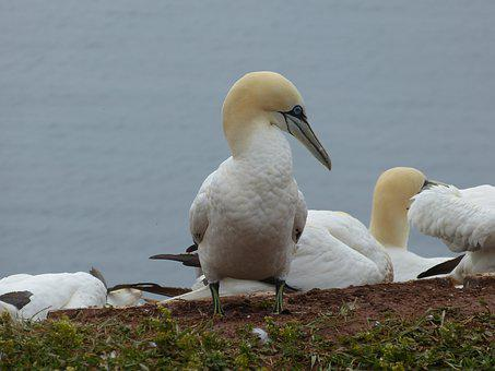 Northern Gannet, Bird, Nature, Animal, Helgoland