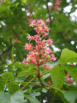 Blossom, Bloom, Chestnut, Red, Flesh Red Horse Chestnut