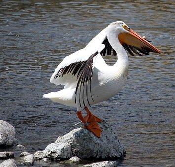 Pelican, Fox River, Stretch, Bird, Big, White, Wings