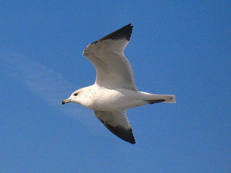 Seagull, Bird, White, Flying, Grey, Wings, Feathers