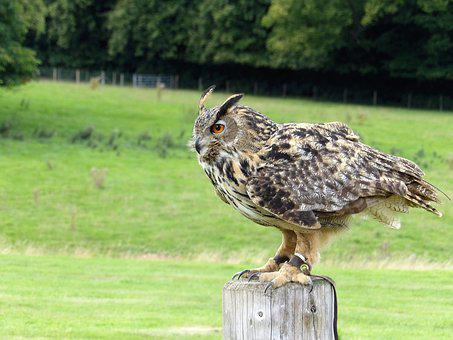 Eurasian Eagle Owl, Owl, Eurasian, Wildlife, Eagle