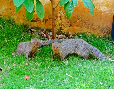 Indian, Gray, Mongoose, Animal, Dharwad, Karnataka