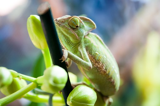 Camelion, Animal, Exotic, Pet, Reptile, Green, Color