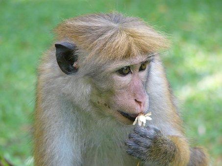 Monkey, Animal, Wild, Flower, Sri Lanka