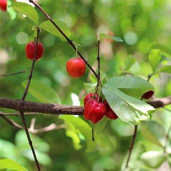 Acerola, Nature, Earth