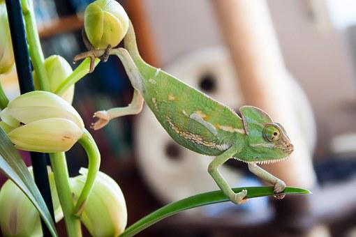 Camelion, Animal, Pet, Exotic, Reptile, Green, Color