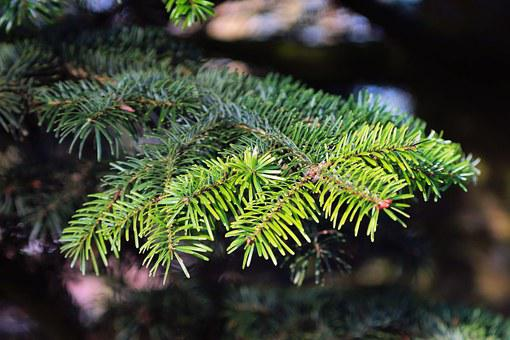 Tannenzweig, Fir, Pine Needles, Branch, Green, Needles