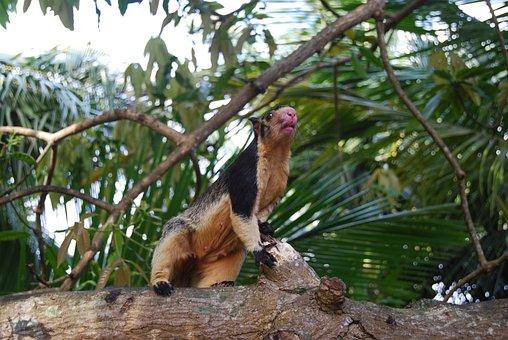 Giant Squirrels, Sri Lanka, Rodent