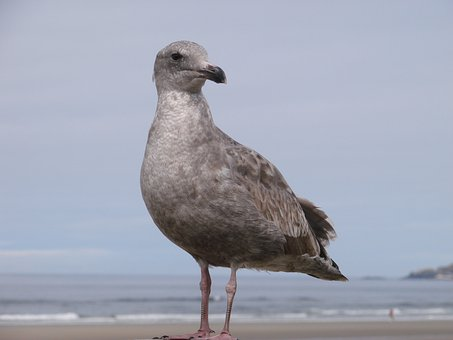 Seabird, Beach, Seabirds, Sand, Oregon Seashore