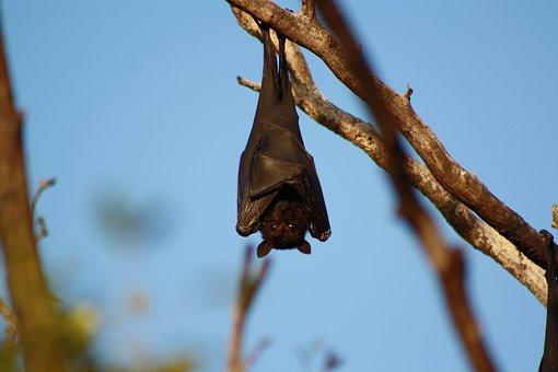 Bat, Hanging, Wildlife