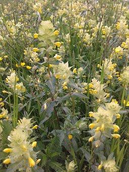 Nettles, Early Summer, Flower Meadow, Yellow Flowers