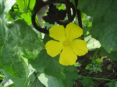 Loofah Vine, Loofah Flower, Vine, Flowering Vine