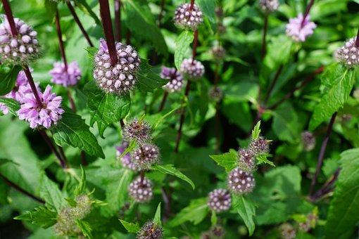Mint, Herbs, Flower, Blossom, Bloom, Nature, Garden