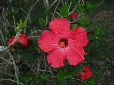 Hibiscus, Red, Flower, Nature, Blossom, Bloom, Rose