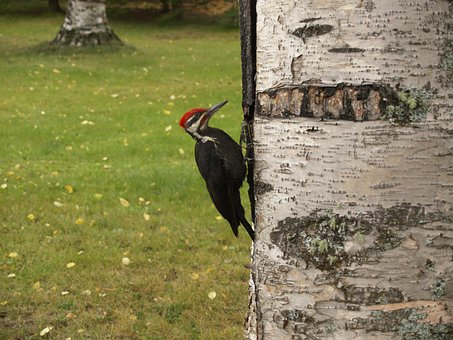 Woodpecker, Bird, Picking, Tree, Feathered, Forest