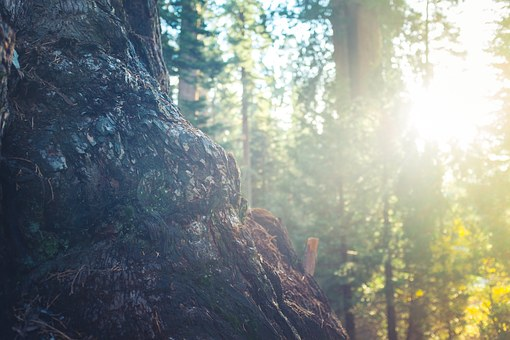 Tree Trunk, Bark, Forest, Woods, Sun Rays, Sunshine