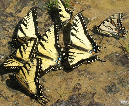 Butterfly, Animal, Nature, Group, Butterflies, Drink