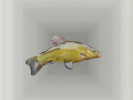Tench, Fish, Freshwater Fish, Fishing, Exhibition