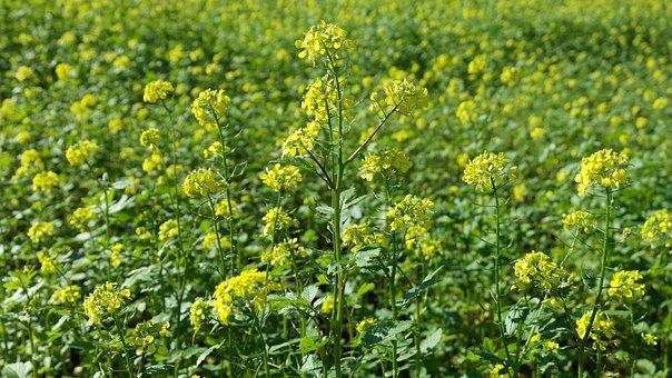 Charlock, Autumn, Nature, Blossom, Bloom, Plant, Yellow