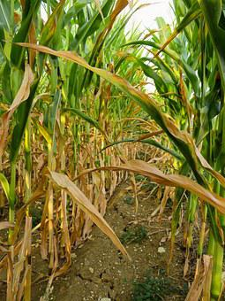 Drought, Corn, Field, Dry, Agriculture, Summer