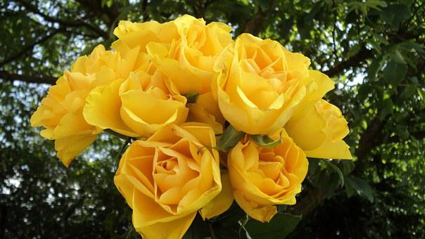 Roses, Bouquet, Yellow Roses, Bouquet Of Roses