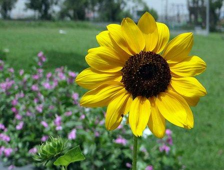 Sunflower, Ornamental, Macro, Close-up, Flower, Yellow