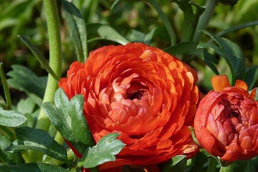 Ranunculus, Flower, Red, Spring, Blossom, Bloom