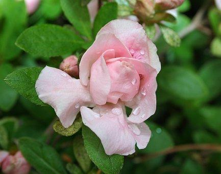 Azalea, Pink, Flower, Bud, Blooming, Spring, Growth