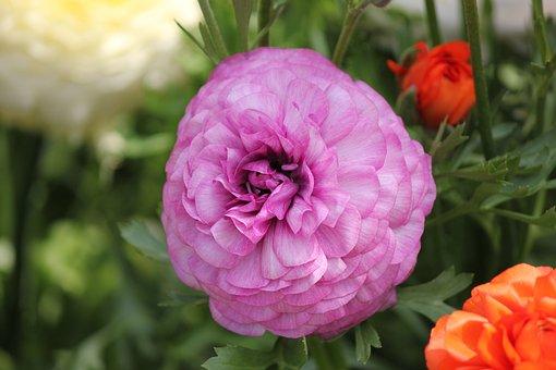 Ranunculus Flower, Ranunculus, Blossom, Purple, Layers