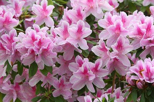 Azalea, Rhododendron, Flower, Bloom, Blossom, Pink