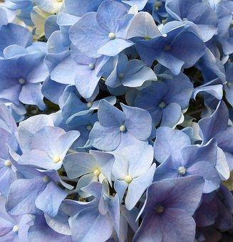 Hydrangea, Flowers, Blue